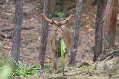 Image d'un cerf commun de sambar mâchant l'herbe Photographie stock