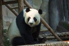 Image d'un panda sur le fond de nature Image stock