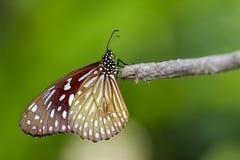 Image d'un papillon Pale Blue Tiger sur le fond de nature Photos libres de droits