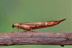 image d'un scarabée rare de bateau-bois de construction images stock