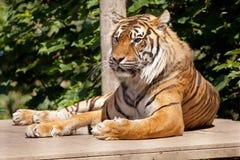 Tigre de repos Photographie stock libre de droits
