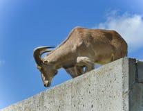Image d'une chèvre regardant vers le bas à partir du dessus Photographie stock