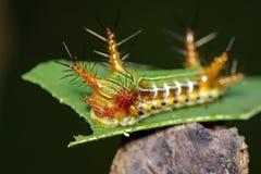 Image d'une chenille de tasse d'acacia sur le fond de nature insecte photographie stock libre de droits