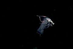 Image d'une crevette de mante larvaire prise la nuit photographie stock