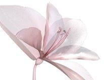 Image d'une fleur d'isolement sur le blanc, Amaryllis Photos stock