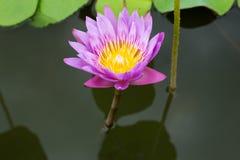 Image d'une fleur de lotus sur l'eau Images libres de droits