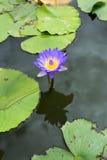 Image d'une fleur de lotus sur l'eau Images stock