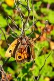 Image d'une mouche de voleur mangeant la proie Photographie stock