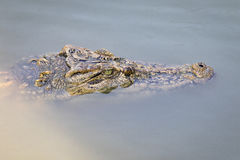 Image d'une tête de crocodile dans l'eau Photos libres de droits