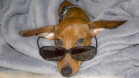 Image of a dachshund with glasses on his bed stock photos