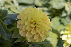 Image of dahlia pinnata flower. royalty free stock image