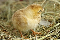 Image of day old chick, close-up Stock Photo
