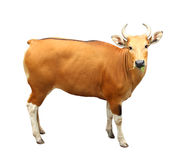 Image de banteng d'isolement Images libres de droits