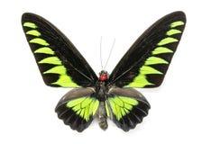 Image de brookiana de Trogonoptera de papillon de Brookiana de raja Images stock