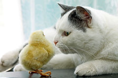 Image de chat reniflant avec précaution le poulet Photographie stock libre de droits