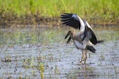Image de cigogne asiatique d'openbill sur le fond naturel Images stock