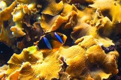 Image de clownesque avec le corail d'anémone Images stock