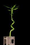 Image de concept d'écologie de tige en bambou dans le vase en bois sur le fond noir Photo stock