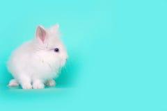 Image de concept de ressort et de Pâques Vue de face d'un lapin blanc se reposant sur ses pattes, au-dessus d'une menthe bleu-cla Photo libre de droits