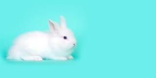 Image de concept de ressort et de Pâques Vue de face d'un lapin blanc se reposant sur ses pattes, au-dessus d'une menthe bleu-cla Photographie stock