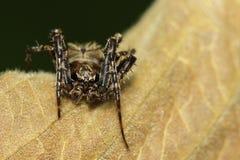 Image de diardi sautant de spiderHyllus de diard sur les feuilles brunes photos libres de droits