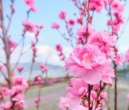 image de fleur de prune avec le fond de ciel bleu photographie stock libre de droits