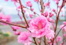image de fleur de prune avec le fond de ciel bleu photos libres de droits