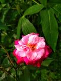 Image de fleurs de roses rouges naturelle photo libre de droits
