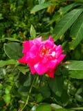 Image de fleurs de roses rouges naturelle photographie stock
