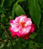 Image de fleurs de roses rouges naturelle image libre de droits