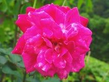 Image de fleurs de roses rouges naturelle image stock