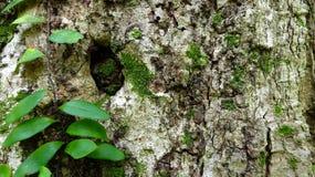 Image de fond d'écorce d'arbre d'homme de vigne photo stock