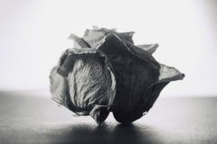 Image de gamme de gris de belle rose sèche de blanc sur le fond blanc, rétro - regard de vintage Image stock
