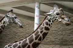 Image de girafe Photo stock