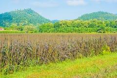 image de gisement de riz et de ciel bleu d'espace libre pour l'utilisation de fond Photographie stock