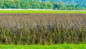 image de gisement de riz et de ciel bleu d'espace libre pour l'utilisation de fond Photos libres de droits