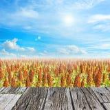 Image de gisement de sorgho et de ciel bleu d'espace libre pour l'utilisation de fond Photo stock