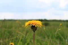 Image de mère de fleur et de plan rapproché de belle-mère de couleur jaune sur un fond de champ et de ciel bleu verts brouillés a Photos stock