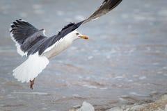 Image de nature de bord de la mer de mouette décollant de la mer Image stock