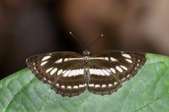 Image de papillon simple commun de marin sur les feuilles vertes insecte image stock