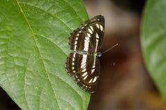 Image de papillon simple commun de marin sur les feuilles vertes insecte photos stock