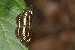 Image de papillon simple commun de marin sur les feuilles vertes insecte photos libres de droits