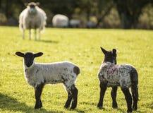 Image de paysage de Beauitful des agneaux et des moutons nouveau-nés de ressort dans f Images stock