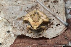 Image de petite grenouille sur les feuilles sèches amphibies images stock