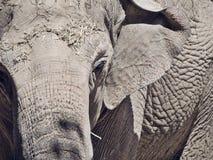 Image de plan rapproché d'éléphant asiatique Images stock