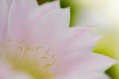 Image de plan rapproché de fleur rose de cactus Images libres de droits