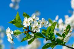 Image de pommier de floraison Image stock