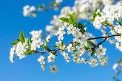 Image de pommier de floraison Image libre de droits