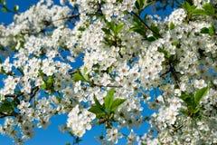 Image de pommier de floraison Images stock