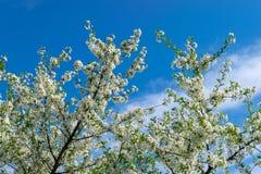 Image de pommier de floraison Photographie stock libre de droits